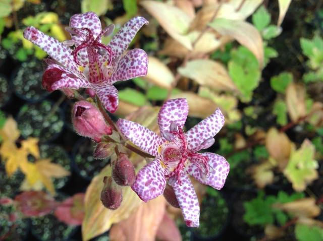 Tricyrtis: one of the rare a beautiful species at Evolution Plants